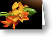 Orange Flower Photo Greeting Cards - Orange Chincherinchee Greeting Card by Gitpix