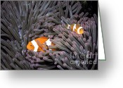 Sea Anemones Greeting Cards - Orange Clownfish In An Anemone Greeting Card by Greg Dimijian