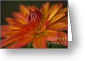 Flower Blossom Greeting Cards - Orange Dahlia Greeting Card by Heiko Koehrer-Wagner
