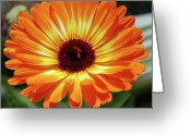 Designers Choice Photo Greeting Cards - Orange Daisy Delight Greeting Card by Don  Wright