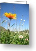 Orange Daisy Photo Greeting Cards - Orange Daisy Greeting Card by Flora Fauna Photography