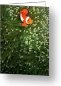 Clown Fish Greeting Cards - Orange Fish With Yellow Stripe Greeting Card by Perry L Aragon