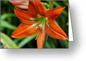 ; Maui Greeting Cards - Orange Flame Hippeastrum Barbados Lily Greeting Card by Karon Melillo DeVega