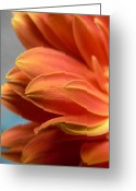 Orange Daisy Photo Greeting Cards - Orange Gerber Daisy One Greeting Card by Abigail Markov