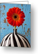 Chrysanthemum Greeting Cards - Orange Gerbera Mum Greeting Card by Garry Gay