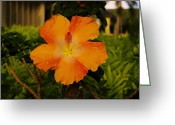 Tropical Photographs Greeting Cards - Orange Hibiscus Greeting Card by John  Greaves