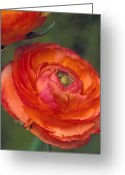 Featured Artwork Prints Greeting Cards - Orange Ranuculi Greeting Card by Kathy Yates