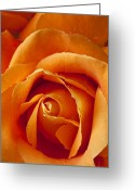 Fragrance Greeting Cards - Orange Rose Close Up Greeting Card by Garry Gay