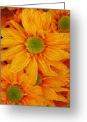 Tropical Gardens Greeting Cards - Orange Spring Daisies Greeting Card by Amy Vangsgard