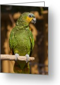 Bright Color Greeting Cards - Orange-winged Amazon Parrot Greeting Card by Adam Romanowicz