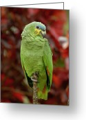 Amazon Parrot Greeting Cards - Orange-winged Parrot Amazona Amazonica Greeting Card by Pete Oxford