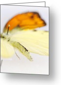Black Wings Greeting Cards - Orange Yellow Butterfly 4 Greeting Card by Jessica Velasco