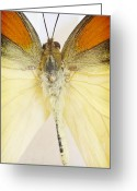Black Wings Greeting Cards - Orange Yellow Butterfly 7 Greeting Card by Jessica Velasco