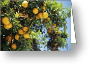 Citrus Fruits Greeting Cards - Oranges Greeting Card by Veronique Leplat