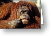 Furry Greeting Cards - Orangutan  Greeting Card by Garry Gay