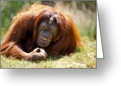 Apes Greeting Cards - Orangutan In The Grass Greeting Card by Garry Gay