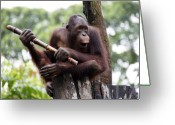Sabah Greeting Cards - Orangutan Greeting Card by Peter Verdnik
