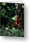 Orangutans Greeting Cards - Orangutan Pongo Pygmaeus Greeting Card by Mattias Klum