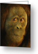 Orangutans Greeting Cards - Orangutan Pongo Pygmaeus Greeting Card by Richard Nowitz