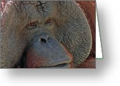 Ape. Great Ape Greeting Cards - Orangutan Portrait Greeting Card by Larry Linton