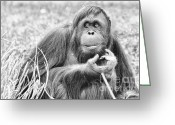 Feeding Greeting Cards - Orangutan Greeting Card by Scott Hansen