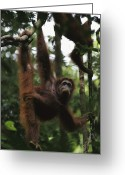 Orangutans Greeting Cards - Orangutans Marissa And Her Juvenile Greeting Card by Tim Laman