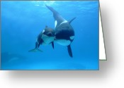Infant Photo Greeting Cards - Orca Orcinus Orca Mother And Newborn Greeting Card by Hiroya Minakuchi