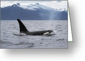 North America Greeting Cards - Orca Orcinus Orca Surfacing Greeting Card by Konrad Wothe