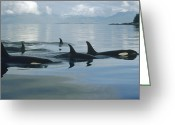 Whale Greeting Cards - Orca Pod Johnstone Strait Canada Greeting Card by Flip Nicklin