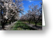 Tree Prints Greeting Cards - Orchard Trees Blossoming Greeting Card by Kathy Yates