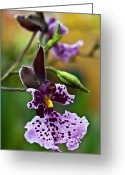 Red Orchid Blooms Greeting Cards - Orchid - Caucaea rhodosticta Greeting Card by Heiko Koehrer-Wagner