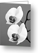 Exotic Orchid Greeting Cards - orchid-4- St Lucia Greeting Card by Chester Williams