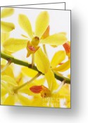 Merchandise Photo Greeting Cards - Orchid Greeting Card by Atiketta Sangasaeng