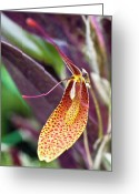 Red Orchid Blooms Greeting Cards - Orchid Flower - Restrepia radulifera Greeting Card by Heiko Koehrer-Wagner
