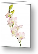 Exotic Orchid Greeting Cards - Orchid flowers  Greeting Card by Elena Elisseeva