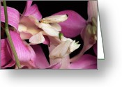 Creobroter Sp Greeting Cards - Orchid Mantis Hymenopus Coronatus Greeting Card by Michael & Patricia Fogden