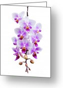 Phalaenopsis Orchid Greeting Cards - Orchid Greeting Card by Meirion Matthias
