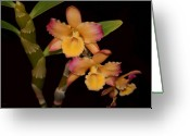 Dendrobium Greeting Cards - Orchid Triplets Greeting Card by Joanne Smoley