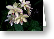 Bletila Striata Greeting Cards - Orchidaceae Greeting Card by Don  Wright