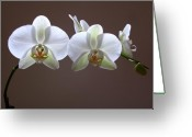 White Orchids Greeting Cards - Orchids Illuminated Greeting Card by Juergen Roth