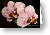 Phalaenopsis Orchid Greeting Cards - Orchids Greeting Card by Luke Moore