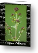 Kitchen Photos Greeting Cards - Oregano Blossoms  Greeting Card by Cathy  Beharriell
