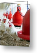 Gallus Gallus Greeting Cards - Organic Chicken Farming Greeting Card by Photostock-israel