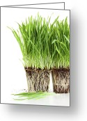 Recycling Photo Greeting Cards - Organic wheat grass on white Greeting Card by Sandra Cunningham