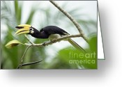 Hornbill Greeting Cards - Oriental Pied Hornbill Greeting Card by Leonid Serebrennikov