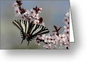 Spring-blooming Greeting Cards - Ornamental Plum blossoms With Zebra Swallowtail Greeting Card by Lara Ellis