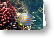 Tropical Fish Greeting Cards - Ornate Butterflyfish on the Reef Greeting Card by Bette Phelan