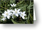 Star Of Bethlehem Greeting Cards - Ornithogalum Umbellatum Greeting Card by Adrian T Sumner