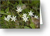 Star Of Bethlehem Greeting Cards - Ornithogalum Umbellatum Greeting Card by Bob Gibbons