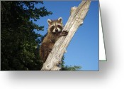 Unusual Raccoon Greeting Cards - Orphaned Raccoon Greeting Card by Melissa Peterson